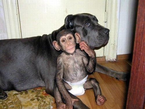 chimpanzee-mastiff-dog-friends-10