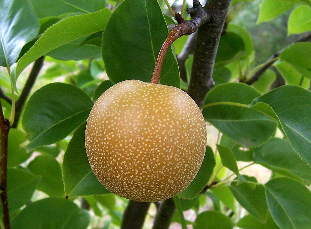 Nashi_pear